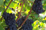 Bourgogne Rouge - Photo n°2